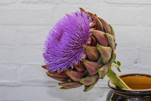 tam açmış enginar çiçeği mosmor