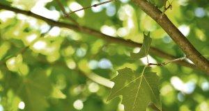 Dalında yeşil çınar ağacı yaprağı