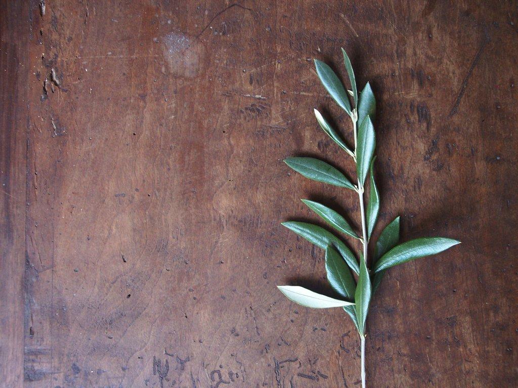 ahşap masa üzerinde 1 dal zeytin ağacı dalı