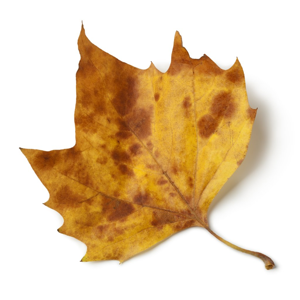tamamen kurumuş sarı çınar yaprağı