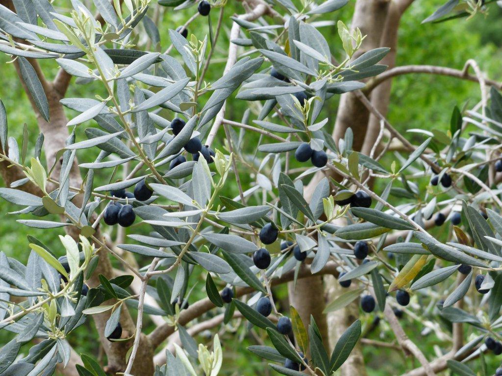 dalları siyah zeytinle dolu ağaçtan yakın çekim