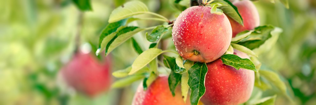 dalında kıpkırmızı elma