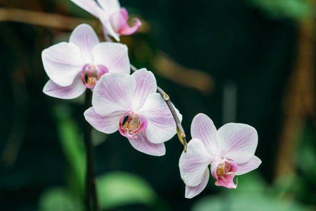 Açık pembe renkli orkideye yakın çekim