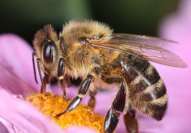 Pembe çiçek üzerinde arı