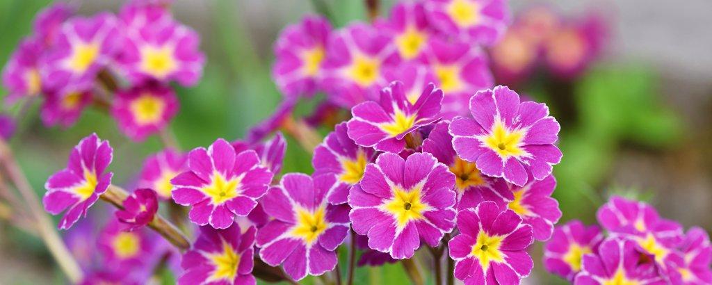 pembe çuha çiçeği