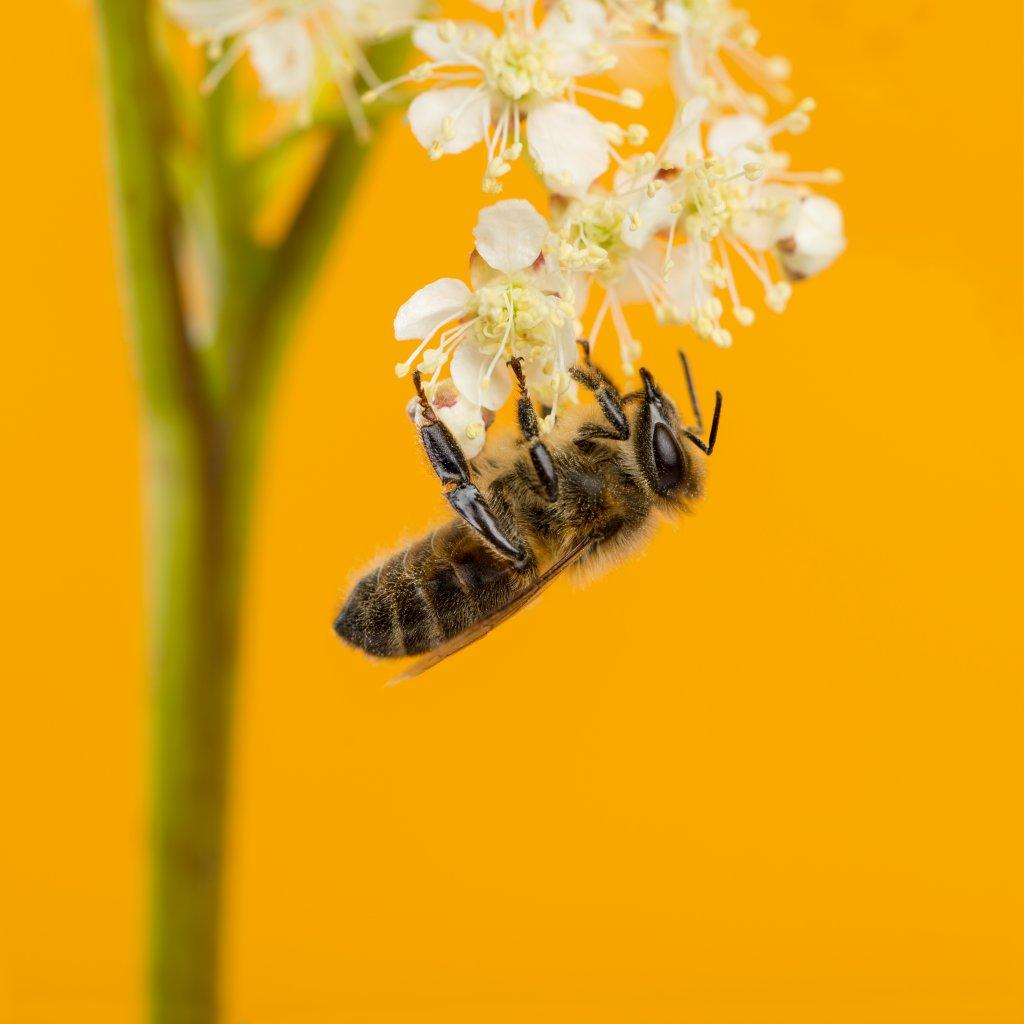 Beyaz çiçek ve arı