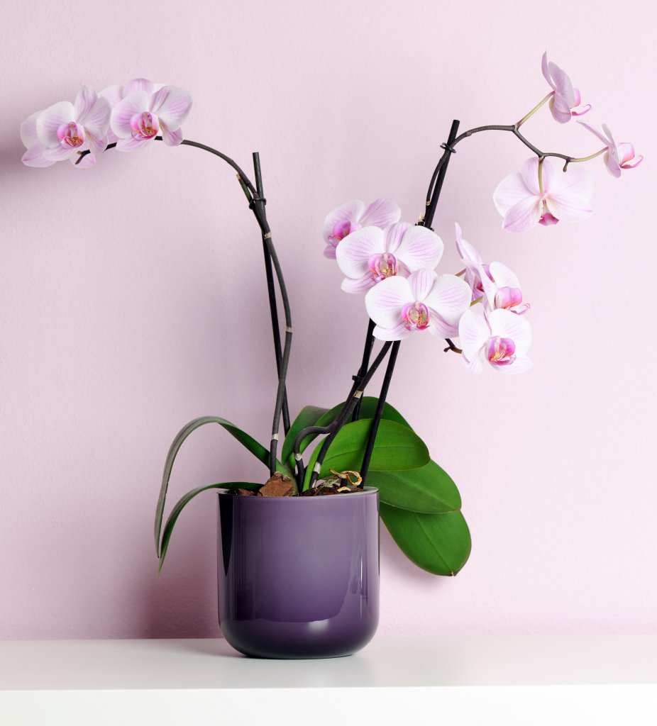 Çok güzel bir orkide saksısı ve canlı orkide